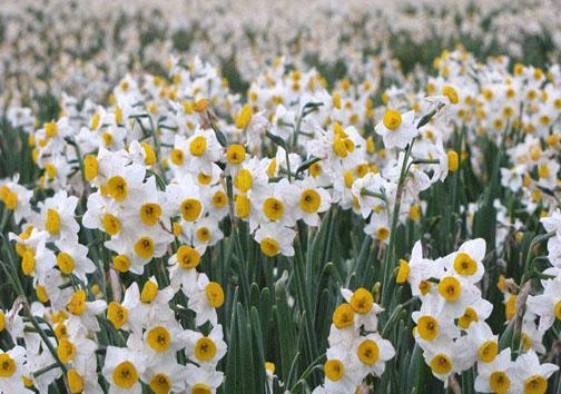 گل نرگس بهترین بهانه نان آوری در زمستان، مورد صادرات فراهم شد